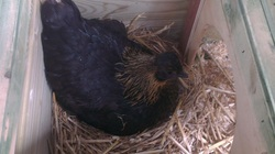 Black Silkie hen on clutch of eggs